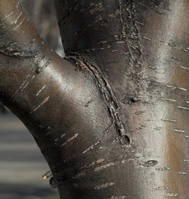 American Mountain Ash bark