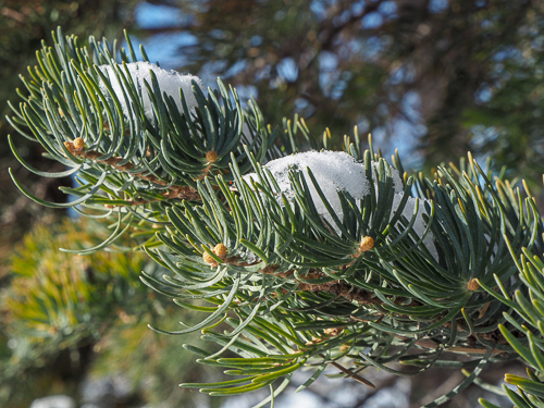 Leaves of the white fir