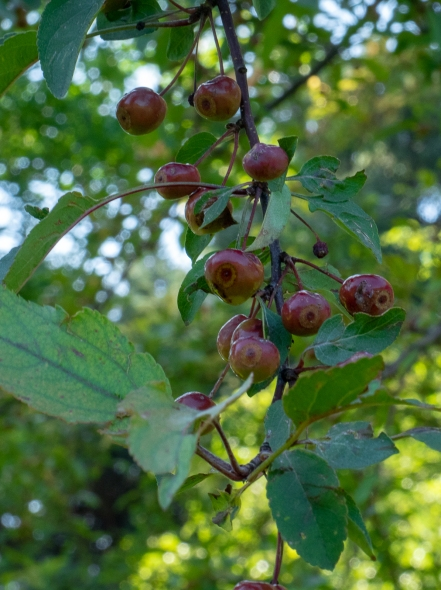 The darker pomes of the Indian Summer crabapple