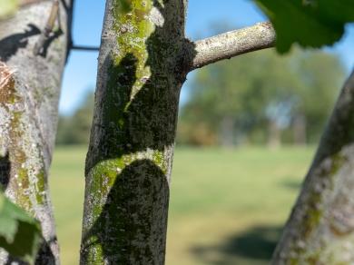 Winter King Hawthorn trunk