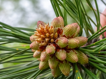 Male seed cones on Ponderosa pine