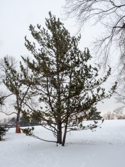 Limber pine in the snow