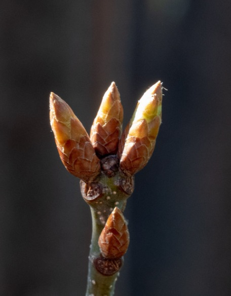 Buds on the Fastigat English Oak