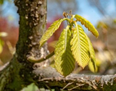 Oriental White Oak
