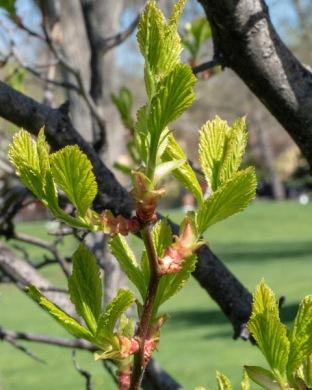 Fleshy hawthorn early leaves