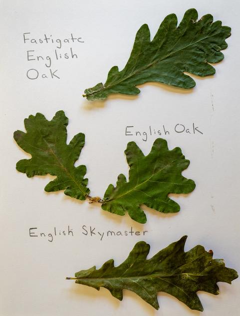 English Oaks