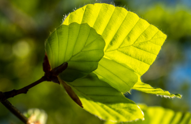 Sunlight through the beech leaves