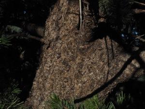 Bristlecone bark