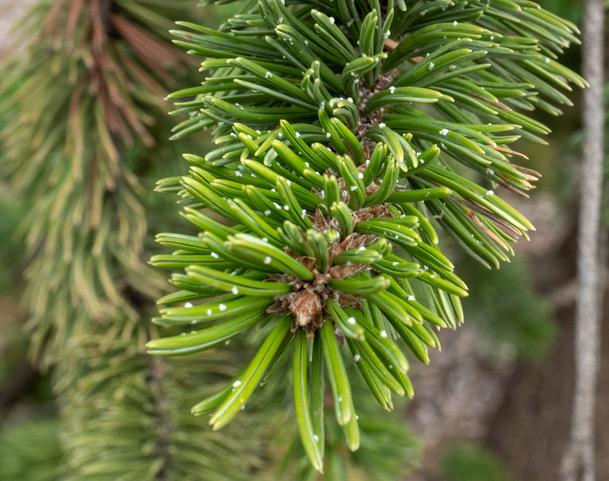Bristlecone closeup