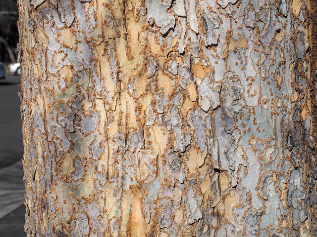 Lacebark elm trunk