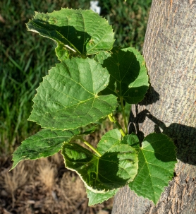 Heart-shaped, serrated leaves